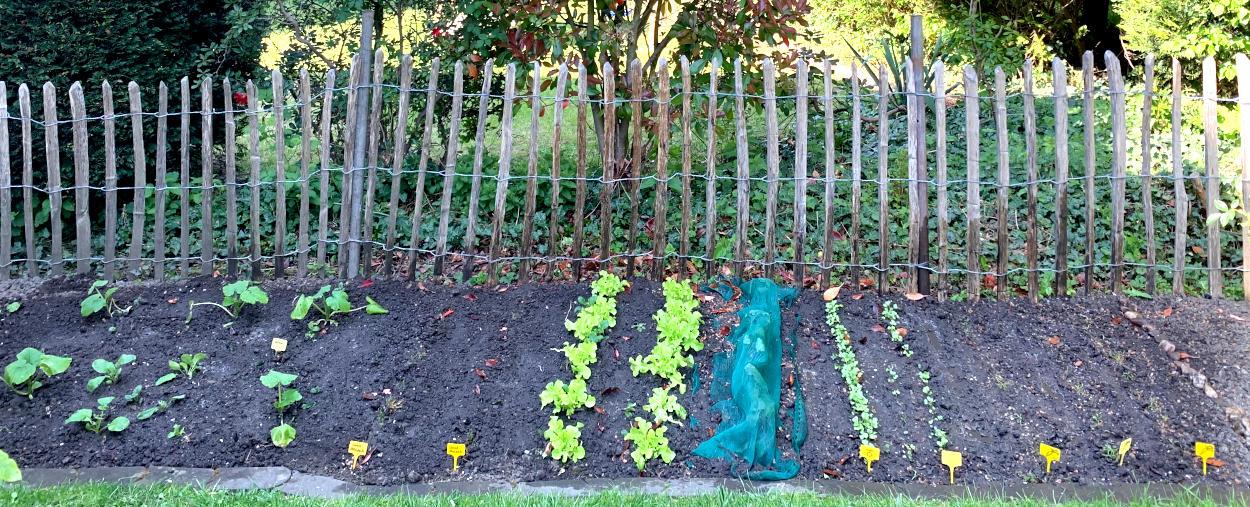 Reihen vor Gemüse vor einem Staketenzaun