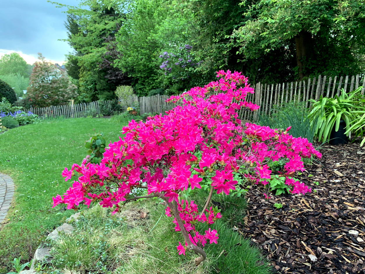 Pinker Bsch, dahinter der Garten
