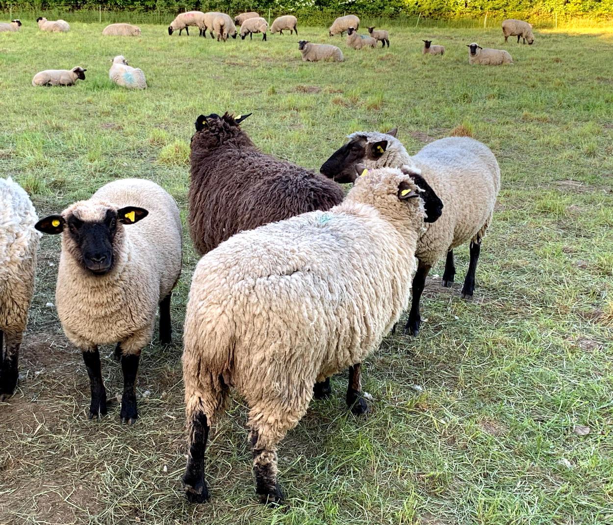 In Grüppchen stehende, wollige Schafe