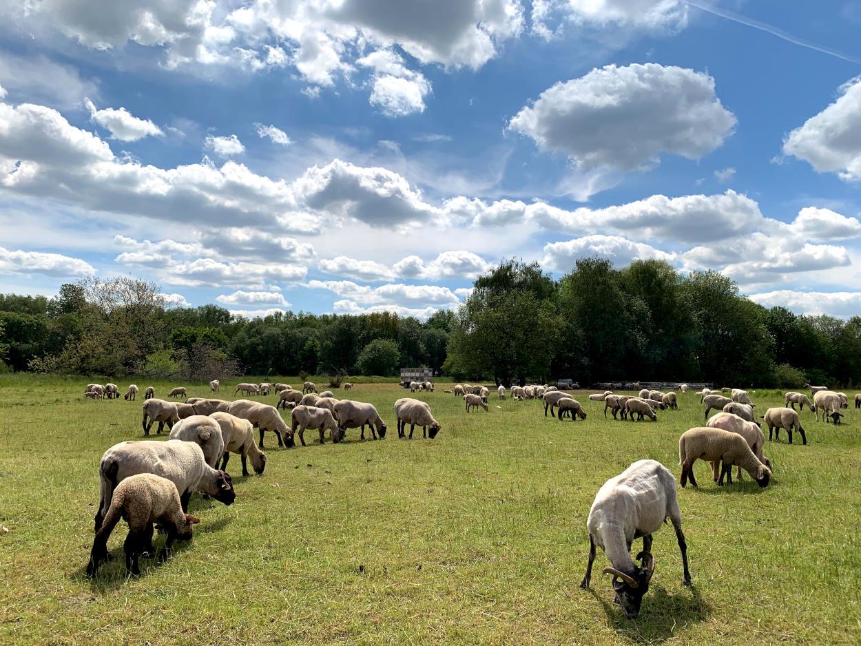 Geschorene Schafe vor Schäfchenwolken