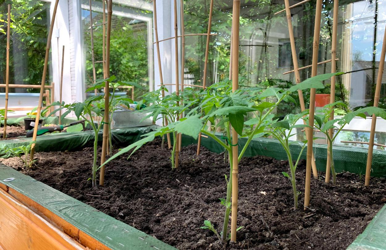 Tomatenpflanzen im Gewächshaus, unterarmgroß