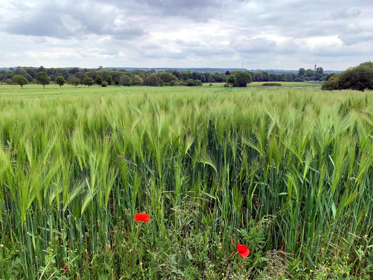 Weizenfeld mit Mohn, bewölkter Himmel