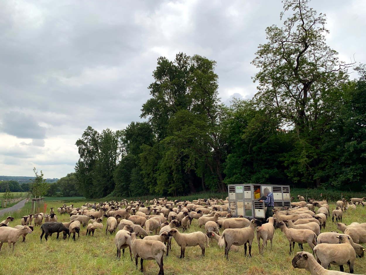 Herde Schafe, darin ein Wagen, an dem sich ein Mann zu schaffen macht