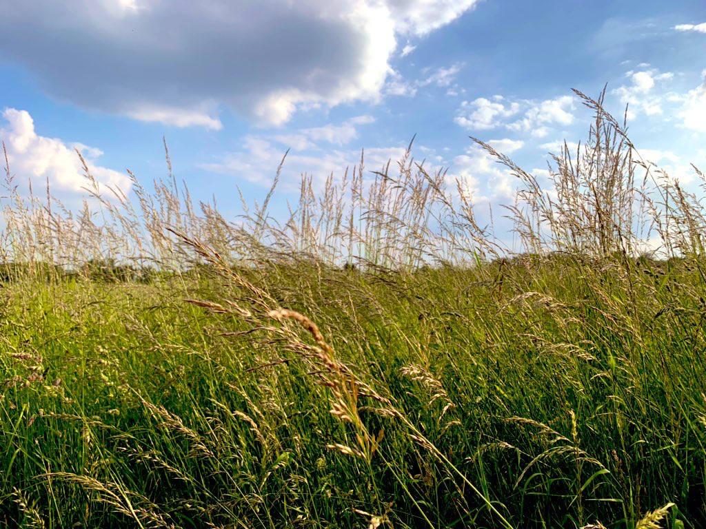 Hoch stehendes, wiegendes und blühendes Gras vor blauem Himmel