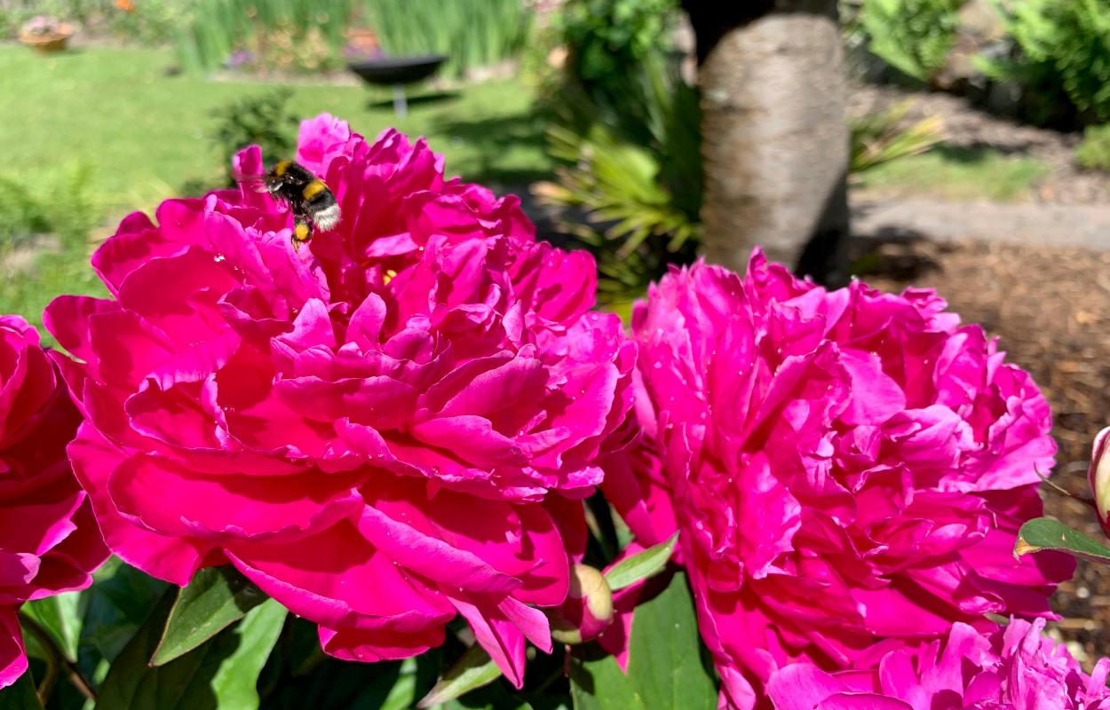 Pinke Blüte mit Hummel