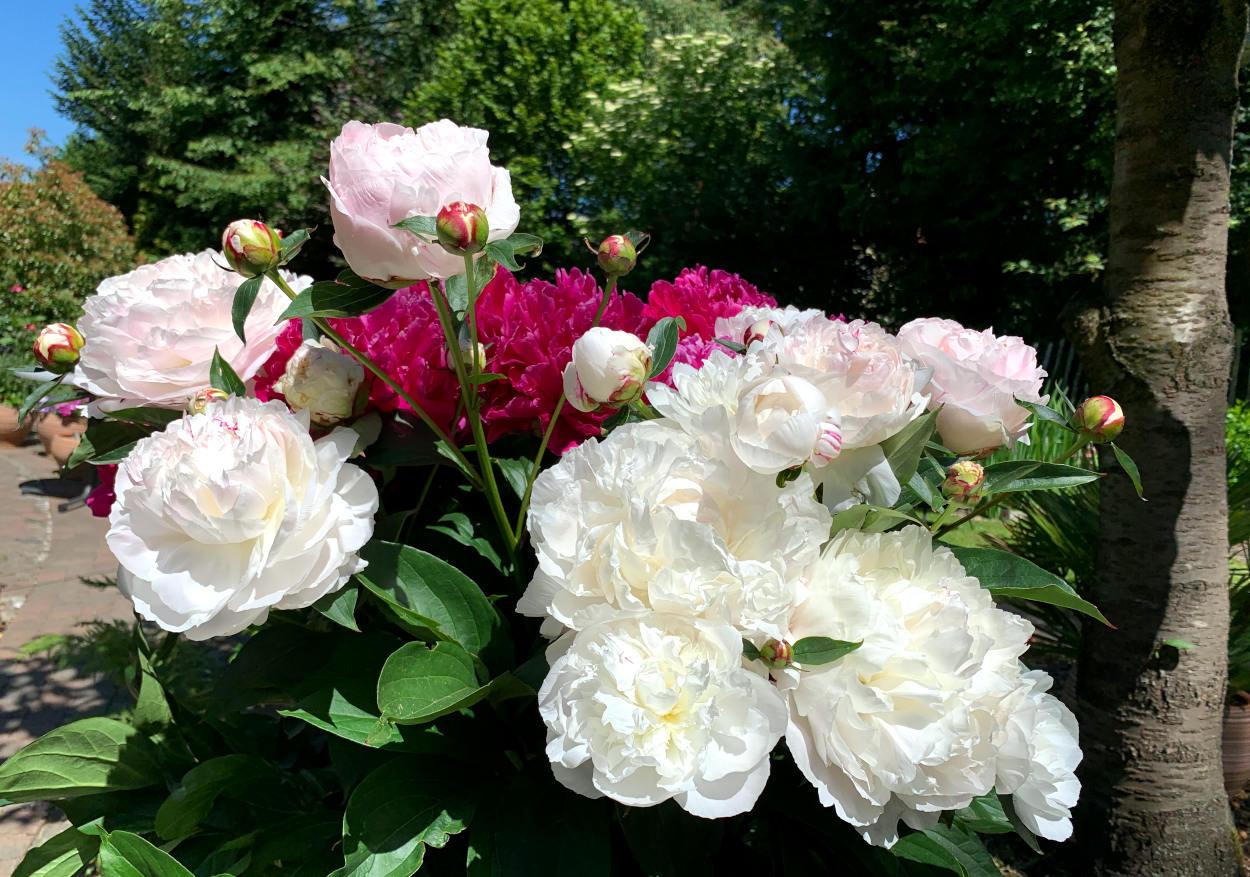 Pfingstrose mit dicken weißen und pinken Blüten