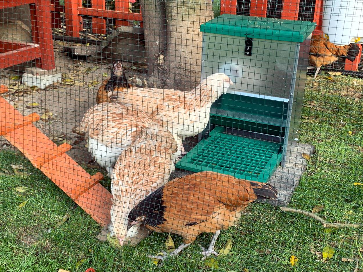 Braune Hühner und weiße, puschelige Hühner