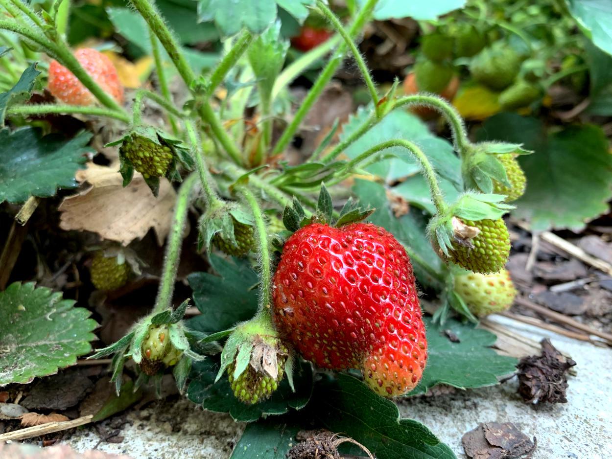 Rote Erdbeere, daneben noch grüne weitere Erdbeeren an der Pflanze
