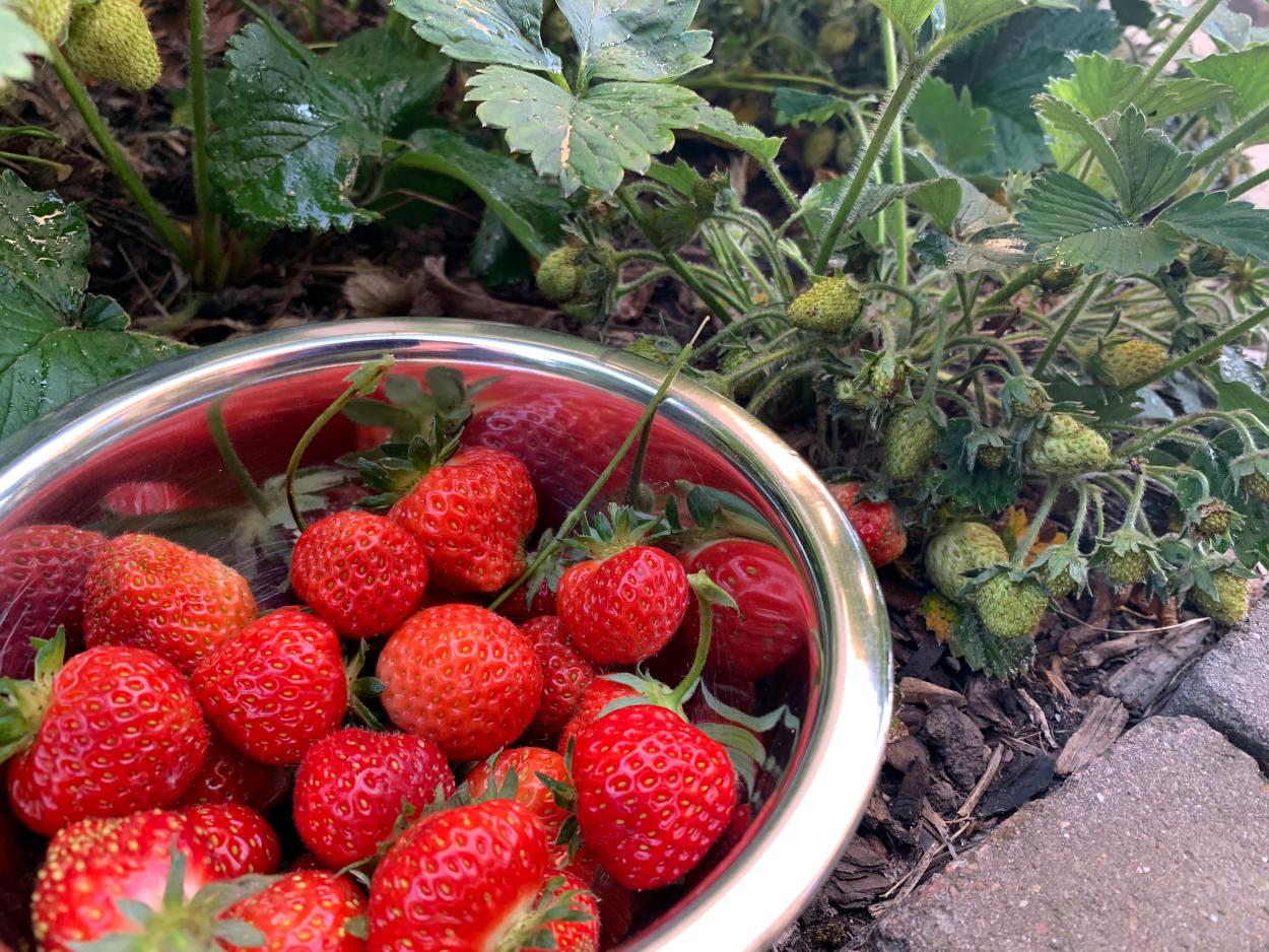 Erdbeerschale, die auf dem Boden steht, dahinter noch grüne Erdbeeren am Strauch