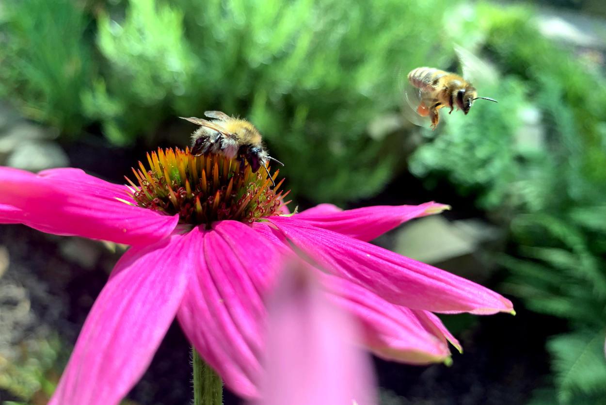 Sonnenhut-Blüte aus der Nähe. Eine BIene sitzt drauf, eine weitere fliegt gerade heran, mit Nektar am Bein.