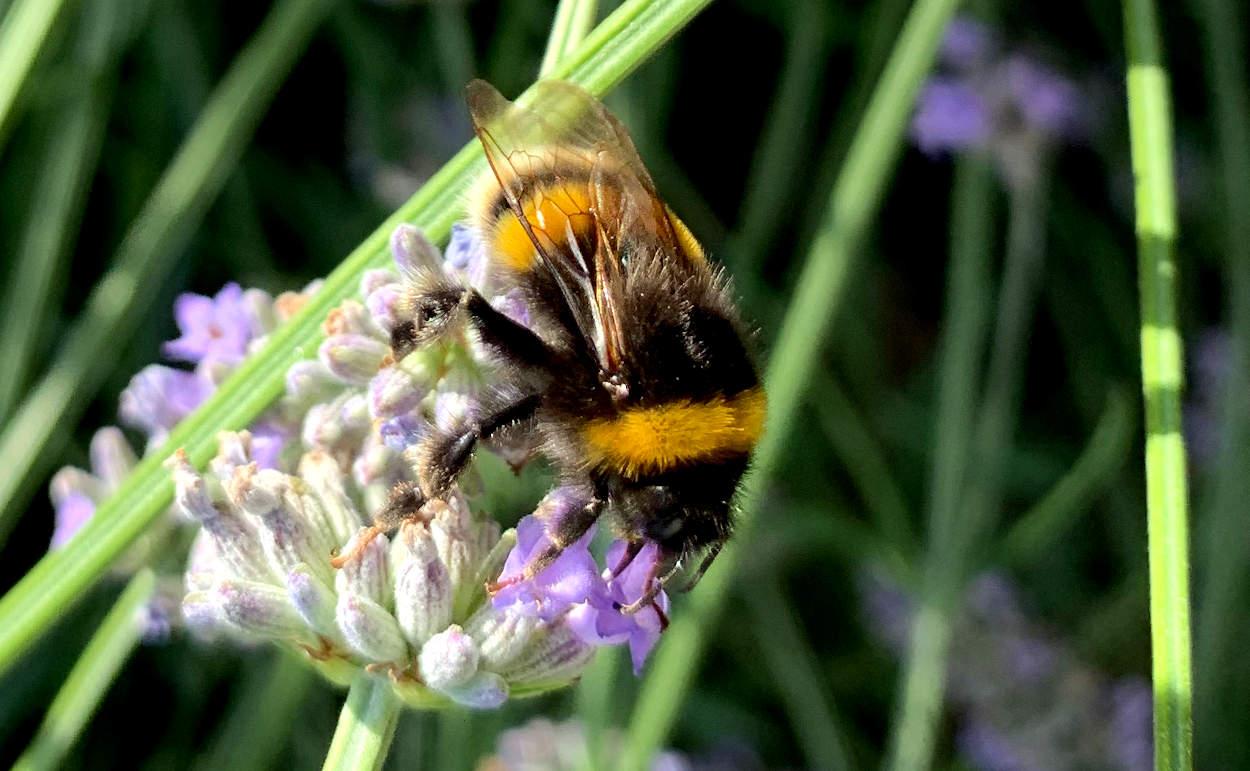 Hummel an Lavendel (Nahaufnahme)