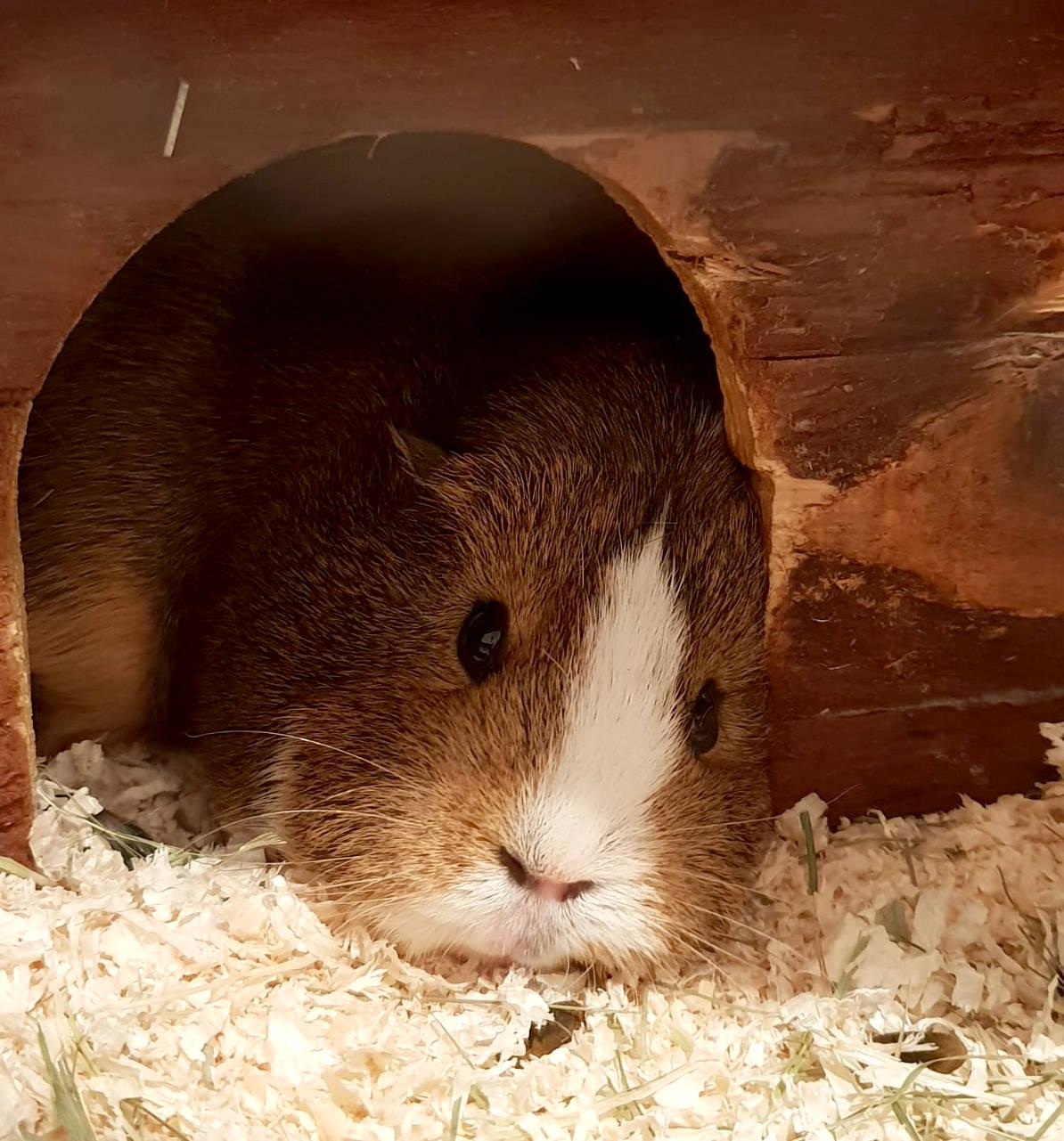 Meerschwein liegt in der Tür zu seinem Häuschen und wirkt ermattet
