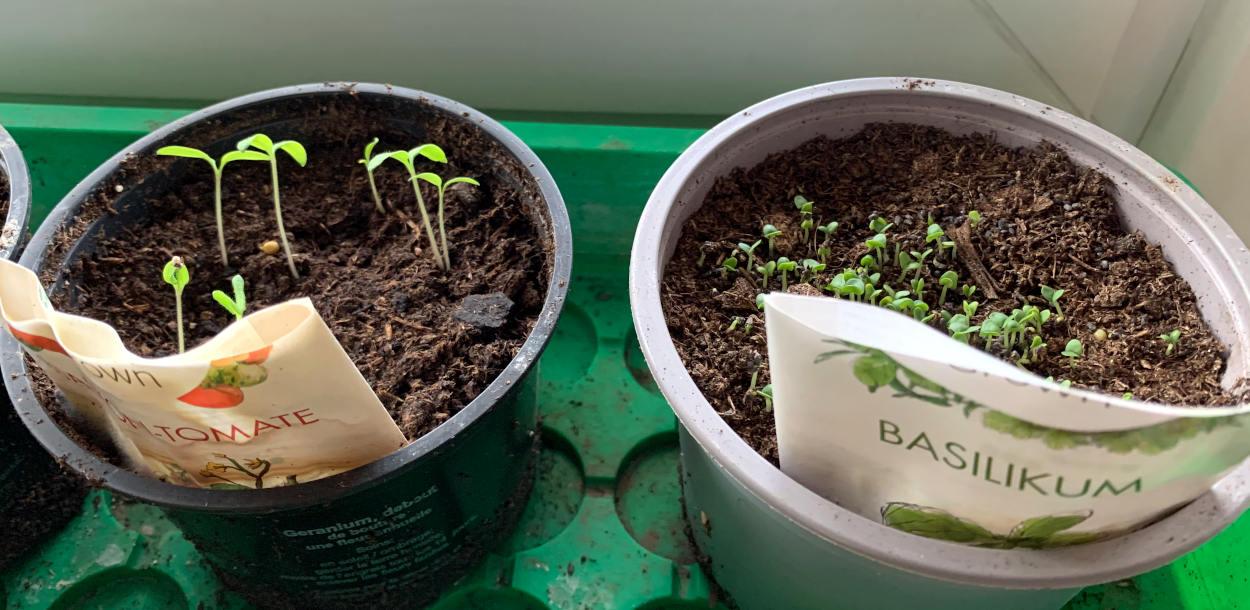 Plastiktöpfe mit kleinen Pflanzen, die aus der Erde gucken
