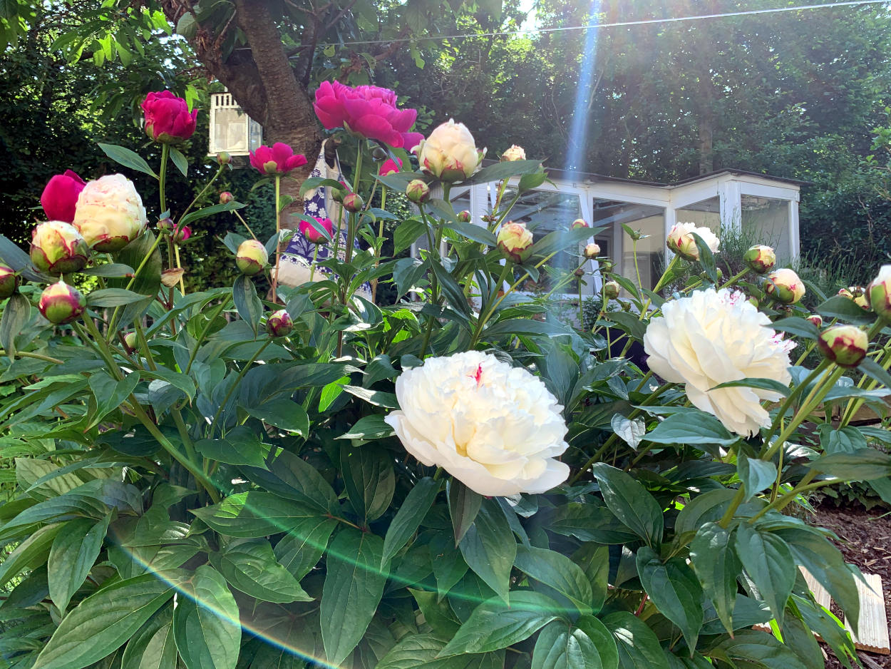 Üppige Pfingstrose im Garten, Morgensonne