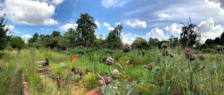 Wilder Garten, im Vordergrund Artschocken vor blauem Himmel mit Schäfchenwolken